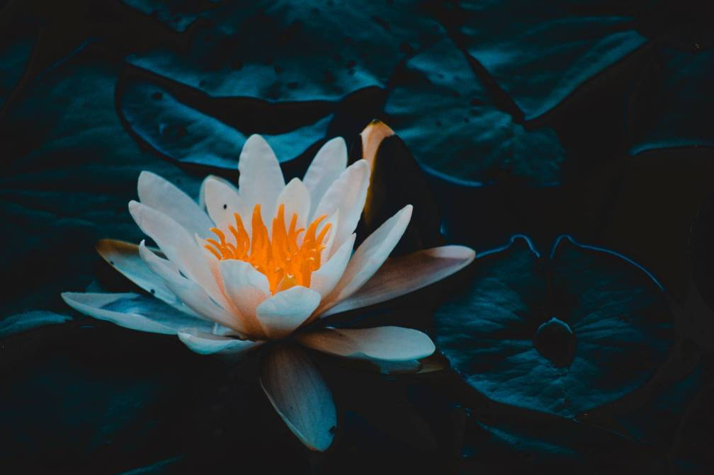 close up photography of water lily